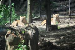 (Asiatic Female Lion) (Dakiny) Tags: animal zoo nikon lion yokohama  mammalia   asiaticlion zoorasia redlist   yokohamazoologicalgardens   d5100