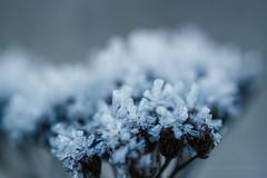 icy (JorunnSjofn) Tags: blue winter cold flower macro ice frozen iceland frost december dof bokeh 60mm icy 2012 frozenflower tlknafjordur icyflower