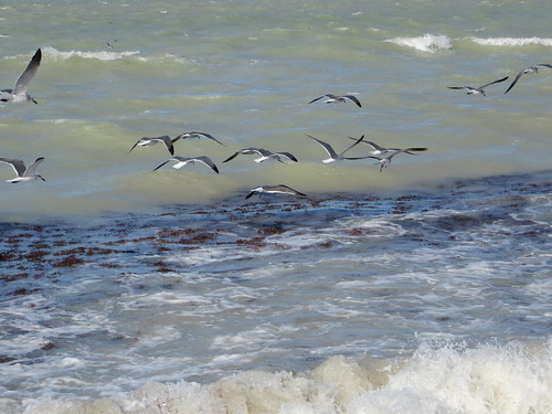 Seabirds fishing in the shorebreak