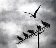 Birds on a TV aerial (Jimmy Gee 2003) Tags: birds pigeons doves tvaerial birdstvaerial