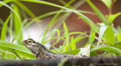 Garden Lizard (Aithal's) Tags: digital canon eos rebel lizard 70300mm canoneos xsi mangalore murali gardenlizard canon70300mmis 450d canon70300mmisusm canon450d aithal canonrebelxsi rebelxsi canondigitalrebelxsi aithals wwwmuraliaithalcom