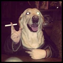 Chillen (laurw) Tags: dog lab funny labrador yellowlab perro