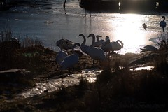 Swans (johanbe) Tags: light sun cold ice sol nature water is swans vatten fglar svanar