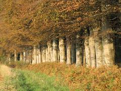 Hêtraie en automne (Plateau de Caux Maritime Tourisme) Tags: automne campagne paysdecaux