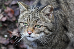 Wild cat (thanks for 650.000 hits) Tags: colour nature animal cat canon photography kat fotografie wildlife wildcat wildekat bmeijers bertmeijers