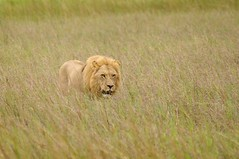 sea of grass (philliefan99) Tags: game nature wildlife lion yawn safari bigcat botswana mammals bigfive southernafrica okavangodelta panteraleo kwarareserve