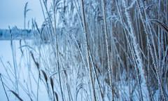 DSC05975.jpg (Vaajis) Tags: winter lake snow forest reeds depthoffield bluemoment
