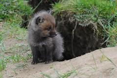 Rotfuchs im Skandinavisk Dyrepark in Kolind (Ulli J.) Tags: denmark zoo dnemark danmark redfox danemark jylland djursland jtland rotfuchs skandinaviskdyrepark kolind renardroux rdrv