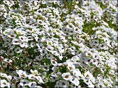 Pretty White Faces (fewstingscorpio) Tags: seattle flowers plants white nature garden washington alyssum 81