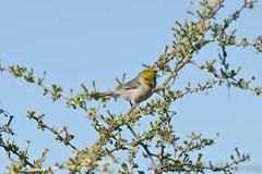Water Ranch Verdin (Arizphotodude) Tags: arizona bird nature birds animal animals wings nikon wildlife birding flight az gilbert nikkor avian 2012 ariz gilbertaz verdin gilbertriparianpreserve riparianpreserve d7k d7000 nikond7000 riparianranchatwaterpreserve brucewolke