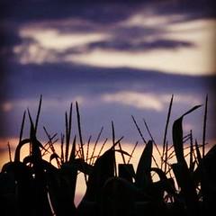 #michigan #sky #summer #sunset #corn #rural #eavig (MattsLens) Tags: sunset summer sky rural corn michigan eavig uploaded:by=flickstagram instagram:photo=24211540483382238239420