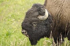 Bison (AnitaBurke1) Tags: buffalo nikon yellowstonenationalpark yellowstone bison d5100 anitaburke