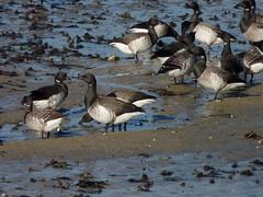 Brant (Dendroica cerulea) Tags: winter bird newjersey nj aves goose capemay brant anatidae anseriformes brantabernicla anserinae capemayharbor naturecenterofcapemay