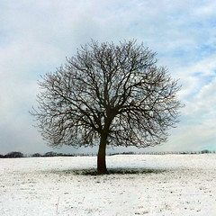 horse chestnut (pho-Tony) Tags: trees snow gravesparktree 365square