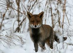 ...on Snow Patrol... {Explored} (Cosper Wosper) Tags: red snow fox snowpatrol vulpesvulpes berrow