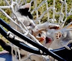 kittens in a basketball goal (*Red Scales Dragon*) Tags: light sky sun snow cute dark spring nikon kitten shadows sunny kittens nikond5100