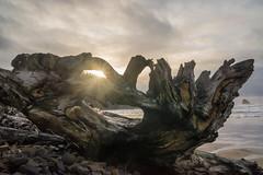 Driftwood Sunstar (Marshall Alsup) Tags: beach driftwood d800 capemeares