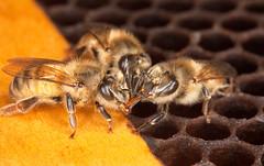 d2487-3 (USDAgov) Tags: unitedstates bees bee research ars entomology usda honeybees
