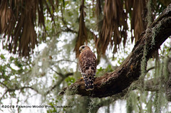 Red-shouldered hawk, Myakka State Park, Florida (Fearon-Wood Photography) Tags: park bird palms moss oak state florida hawk raptor prey forests myakka hardwoods redshouldered