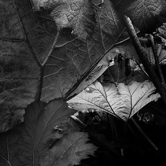 Gunnera Layers (Ger208k) Tags: ireland blackandwhite leaves fauna kerry foliage greyscale gunnera gerardmcgrath kellsgardens
