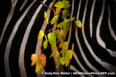Zebra and Mopane leafs (AKMNaturePhotoART) Tags: africa wood trees terrain plants plant tree art landscape southafrica landscapes countryside woods flora scenery branch view arm timber fineart country boom twig zebra perch vegetation vista greenery botanic plain krugernationalpark fineartphotography bough booms southernafrica perches africanwildlife wildlifephotography burchelli mopane