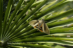 206/366 2016 (Spotty Dog Gallery- in France at last) Tags: 365daysproject 365daysor52weeks project365 2016onephotoeachday paysandisiaarchon moth pest aude minervois palmtree