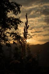 Scosso dal venticello (ambrasimonetti) Tags: scosso dal venticello sole aria luce sun august 2016 sunset magic light foschia foggy clouds nuvole yellow orange ascoli piceno marche italy