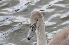 Mute Swan Cygnet (D R Swift) Tags: swan muteswan cygnet ruthin denbighshire northwales