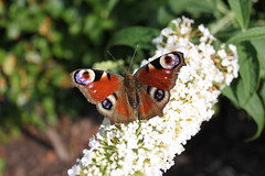 Schmetterling - Tagpfauenauge auf Blume (peacock (butterfly)) (Christoph Scholz) Tags: schmetterling pfauenauge natur metamorphose falter