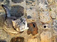 Chat dans les rues de Sarlat (Noemie.C Photo) Tags: chat cat gato gris grey rue street mignon cut cute animal sarlat dordogne medieval beautiful pavs sol ground
