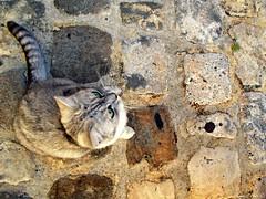 Chat dans les rues de Sarlat (Noemie.C Photo) Tags: chat cat gato gris grey rue street mignon cut cute animal sarlat dordogne medieval beautiful pavs sol ground