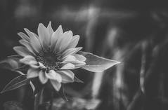 sunflower in monochrome (kderricotte) Tags: bokeh depthoffield sonya6000 helios44m458mmf2 flower plant outdoor sunflower monochrome blackandwhite
