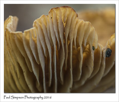 Mushroom Gills (Paul Simpson Photography) Tags: mushroom mushrooms macro september2016 sonya77 imageof imagesof paulsimpsonphotography photoof photosfrom photosof naturalworld nature forest fungal fungi woodland autumn woodlandforay