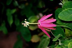 Passiflora reflexiflora (betadecay2000) Tags: ta passiflora reflexiflora passionsblume sdamerika kletterpflanze pflanze plant kbelpflanze maracuja passionsfrucht tropen blume outdoor