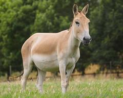 Asiatic Wild Ass - I8274804 (Boyce905) Tags: asiatic wildass onager equid equus hemionus
