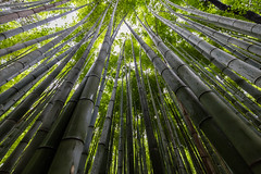 Bamboo in to the sky (Role Bigler) Tags: bamboo bambus canoneos5dsr japan kyoto nippon tempel temple tenryuji tenryji zen bambooforest bambuswald canonef1635isusm giantbamboo riesenbambus