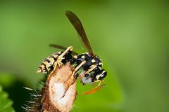 Feeder (Luis-Gaspar) Tags: animal insecto insect wasp paperwasp europeanpaperwasp vespa vespadopapel vespadopapeleuropeia polistesdominula hymenoptera vespidae portugal oeiras nikon d60 18105 f56 11000 iso400
