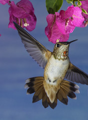 Hummingbird In The Bougainvillea (Bill Gracey) Tags: hummingbird hummer fleur flor aerialmaneuver poway paintedbackdrop offcameraflash flowers flores avianphotography nature naturephotography yn560iii yn560 yn560ii yongnuorf603n manualmode bif birdinflight feeding sharp detail clarity bougainvillea rufous selasphorusrufus