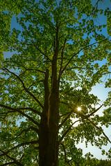 Dar Baum im Licht (berndtolksdorf1) Tags: baum eiche eichenlaub sonne sonnenstrahlen licht lichtstimmung sommer outdoor