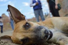 Miradas! (Tato Avila) Tags: colombia desierto tatacoa huila villavieja perro ojos miradas bigotes animal vida