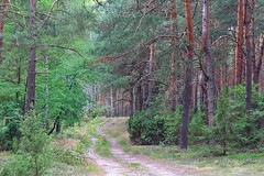 walking in the forest... (green_lover) Tags: forest trees road path nature green poland