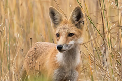 Red Fox 7D673133 (Melissa Kung) Tags: redfox fox