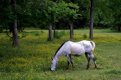 Horses (thill70) Tags: athens tanner alabama limestone county horses