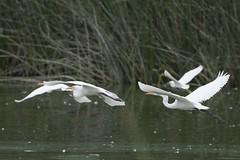 DSC_0052.jpg Great Egrets, Four Mile Beach (ldjaffe) Tags: fourmilebeach greategrets