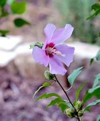 _DSC0018e ~  Chinese Hibiscus (BDC Photography) Tags: pipecreek texas usa nikonhn31lenshood hoyahmc77mmuv0filter nikonafnikkor85mmf14diflens nikon nikond200 flowers hibiscus roseofsharon chinesehibiscus