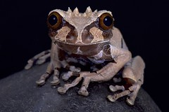 spiny-headed tree frog (Anotheca spinosa) (Reptiles4all) Tags: amphibian animal anothecaspinosa arboreal costarica crown crowned crownedfrog crownedtreefrog fauna frog honduras mexico nocturnal oneanimal panama predator spiny spinyheadedtreefrog strange treefrog weird wildlife
