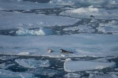 Harp seal relaxed (Elvar H) Tags: arcticocean harpseal helmerhansen phocagroenlandica siarctic grnlandssel sealsampling vuselur