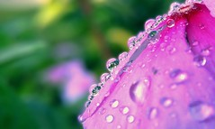 Pearls on Petal (KrisnaO) Tags: lgg4 smartphone photography macro plants flowers dew drops water droplets nature beauty pearls purple pink