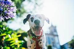 Let me see (Leo Hidalgo (@yompyz)) Tags: canon eos 6d dslr reflex yompyz ileohidalgo fotografa photography vsco portugal travel dog perro animal dalmatian dlmata
