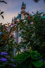 Castle, Sunset, Flowers 2 (Domtabon) Tags: california castle dl dlr disney disneyland disneylandresort sleepingbeauty sleepingbeautycastle mousewait